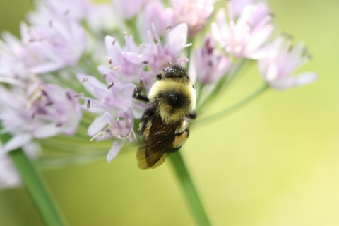 480_rusty_patched_bumble_bee_-_sabrina_jepsen-b-affinis_1.jpg