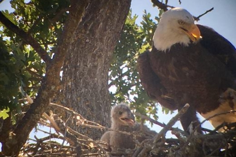 480_bald_eagle-central-california_1.jpg