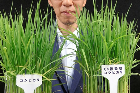 480_japan_contaminated_rice_1.jpg