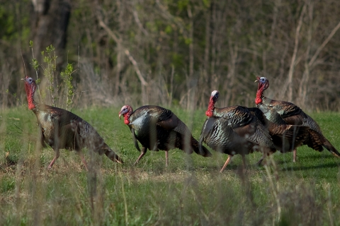 480_wild_turkeys_1.jpg