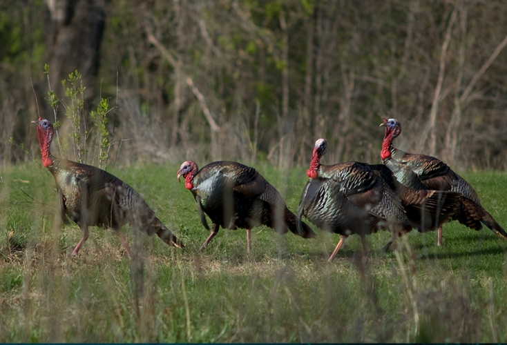 sm_wild_turkeys.jpg