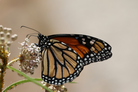 480_monarch_butterfly_xerces_society_stephanie_mcknight_1.jpg