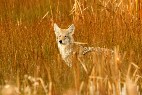 480_coyote_in_cat_tails_seedskade_nwr_tom_koerner_usfws_fpwc_1.jpg