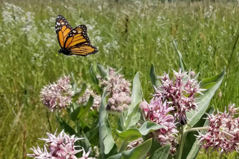 480_monarch-flying-over-showy-milkweed-oregon-stephanie-mcknight-768x768.jpg