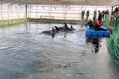 480_orca-calves-in-nakhodka-free-russian-orcas.jpg