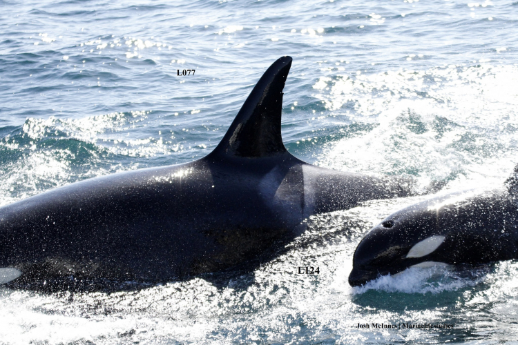 sm_lucky_orca_baby_calf_l-pod_monterey_bay_l124_l077_southern-resident-killer-whales_2.jpg
