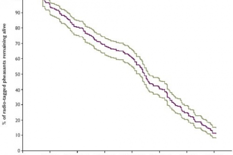 480_pheasants-lifespan.jpg