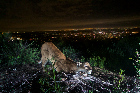 480_verdugos_mountains_lion_female_los_angeles_national_park_service.jpg