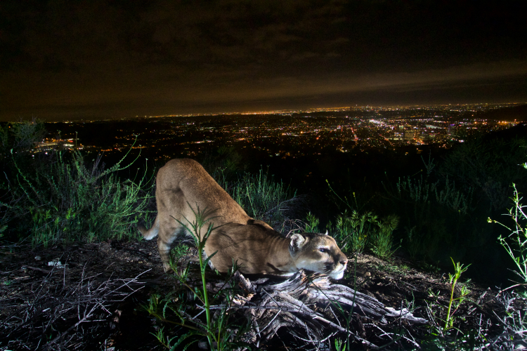 sm_verdugos_mountains_lion_female_los_angeles_national_park_service.jpg