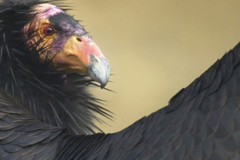 480_gettheleadout_californiacondor_scottfrier_usgs.jpg