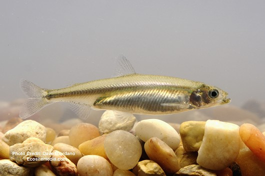 delta_smelt_-_adult__side_view___uc_davis_fish_conservation_and_culture_lab.jpg