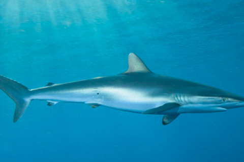 480_silky-shark-andymurch.jpg