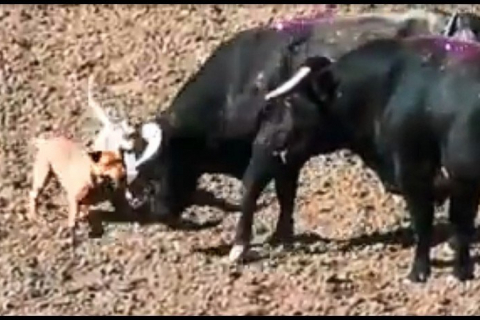 480_dogs_baiting_bulls_salinas_rodeo_2019_from_shark_video.jpg