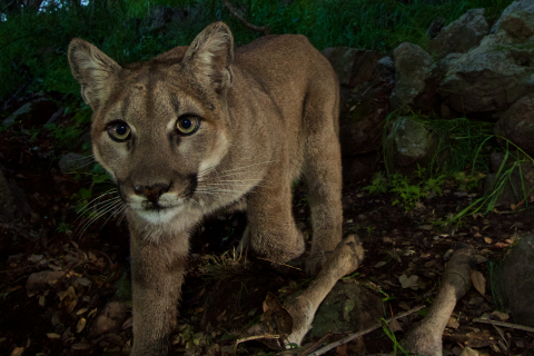 480_mountain_lion_p33_nps_fpwc.jpg