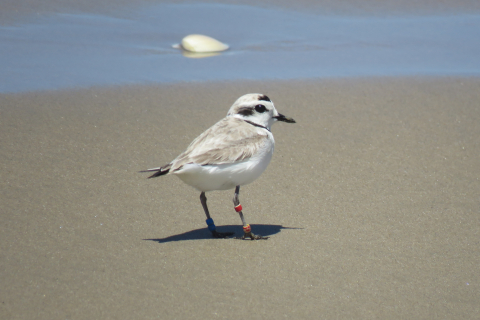 480_snowy_plover_by_jeff_miller_center_for_biological_diversity_1.jpg