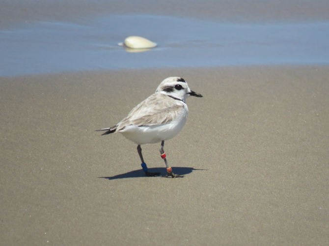 sm_snowy_plover_by_jeff_miller_center_for_biological_diversity.jpg