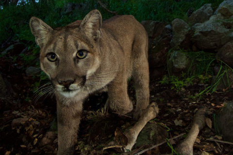 480_mountain_lion_p33_1.jpg