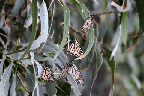 480_monarch-butterfly-ventura-county-lara-drizd-us-fish-and-wildlife-service_1.jpg