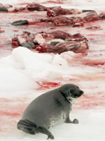 a single seal looks over the carcasses of others