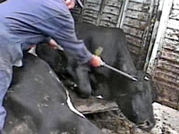 Largest Beef Recall Ever After Video Exposes Slaughter Plant Conditions