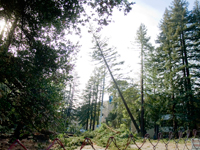 Tree Sit Ends and Redwoods Cut at UCSC