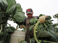 Picking the Colonizers' Vegetable