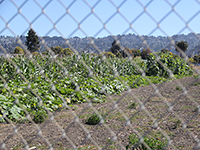 University of California Razes Publicly Planted Crops on Gill Tract