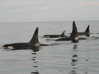 Expanded Habitat Protection Sought for Endangered Orcas on West Coast