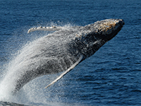 Whales and Sea Turtles Win One: No Driftnet Expansion in California