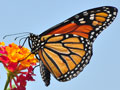 After 90 Percent Decline, Federal Protection Sought for Monarch Butterfly