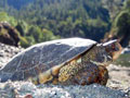 Western Pond Turtle Moves Toward Endangered Species Act Protection
