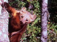 California Endangered Species Act Protection Sought for Nearly Extinct Humboldt Marten
