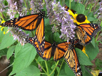 Lawsuit Launched for Endangered Species Act Protection of Monarch Butterflies