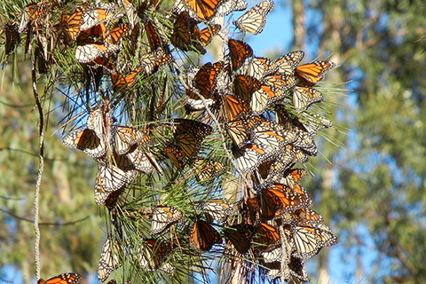 California Monarch Butterflies Overwintering Sites in Need of Protection