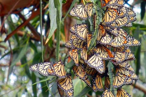 Monarch Butterfly Population Drops by Nearly One-third
