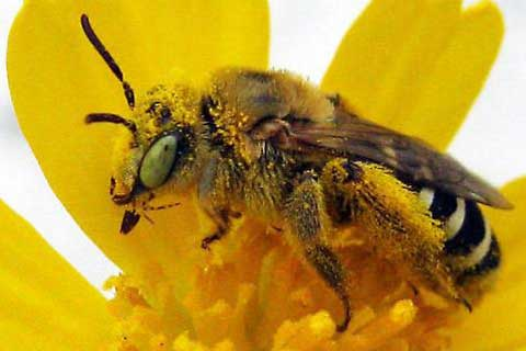 Landmark Report Reveals Hundreds of Native Bee Species Sliding Toward Extinction