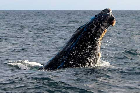 West Coast Whale Entanglements in 2016 Broke Record for Third Straight Year