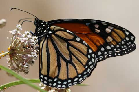 Western Monarch Butterflies Continue to Decline