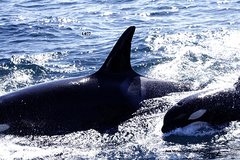 Lawsuit Forces Protection for Endangered Orcas' West Coast Habitat